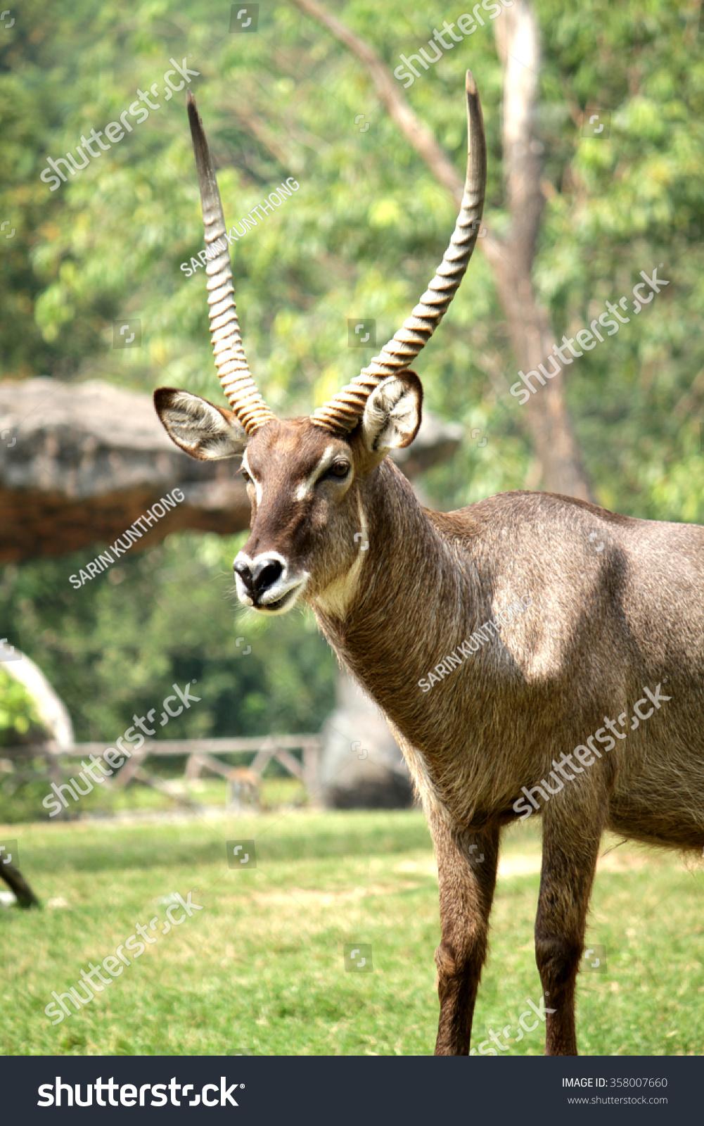 Ungulate Zoo Ungulate, Bushb...