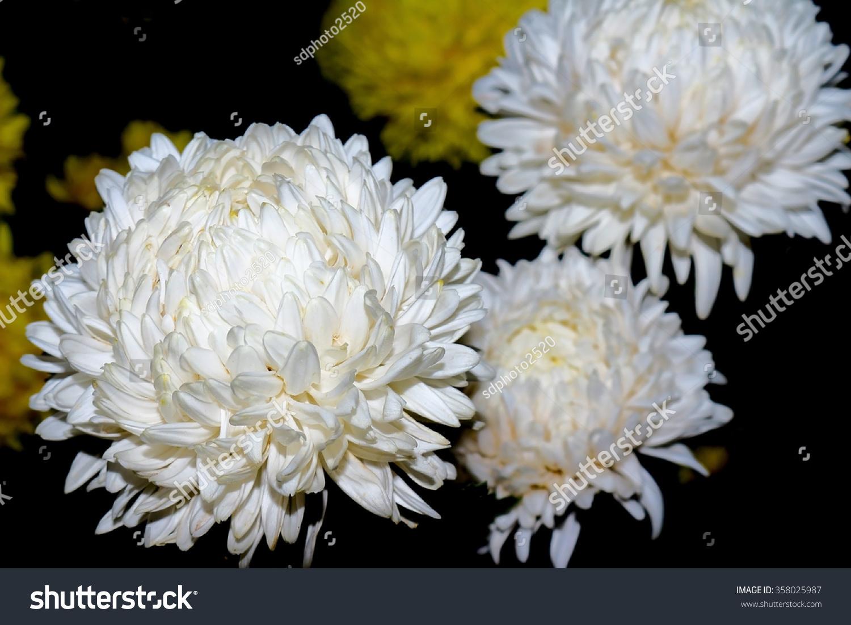 Chrysanthemum White On A Black Background Ez Canvas