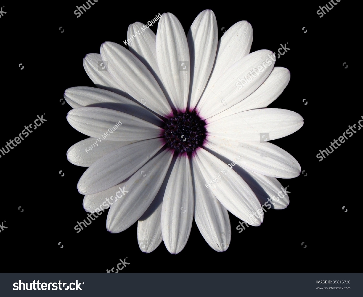 White daisy with dark purple center isolated on black background