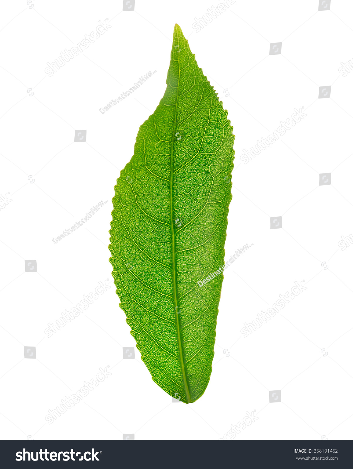 Leaf Anatomy Diagram Stock Photo Download Now 358191452 Shutterstock