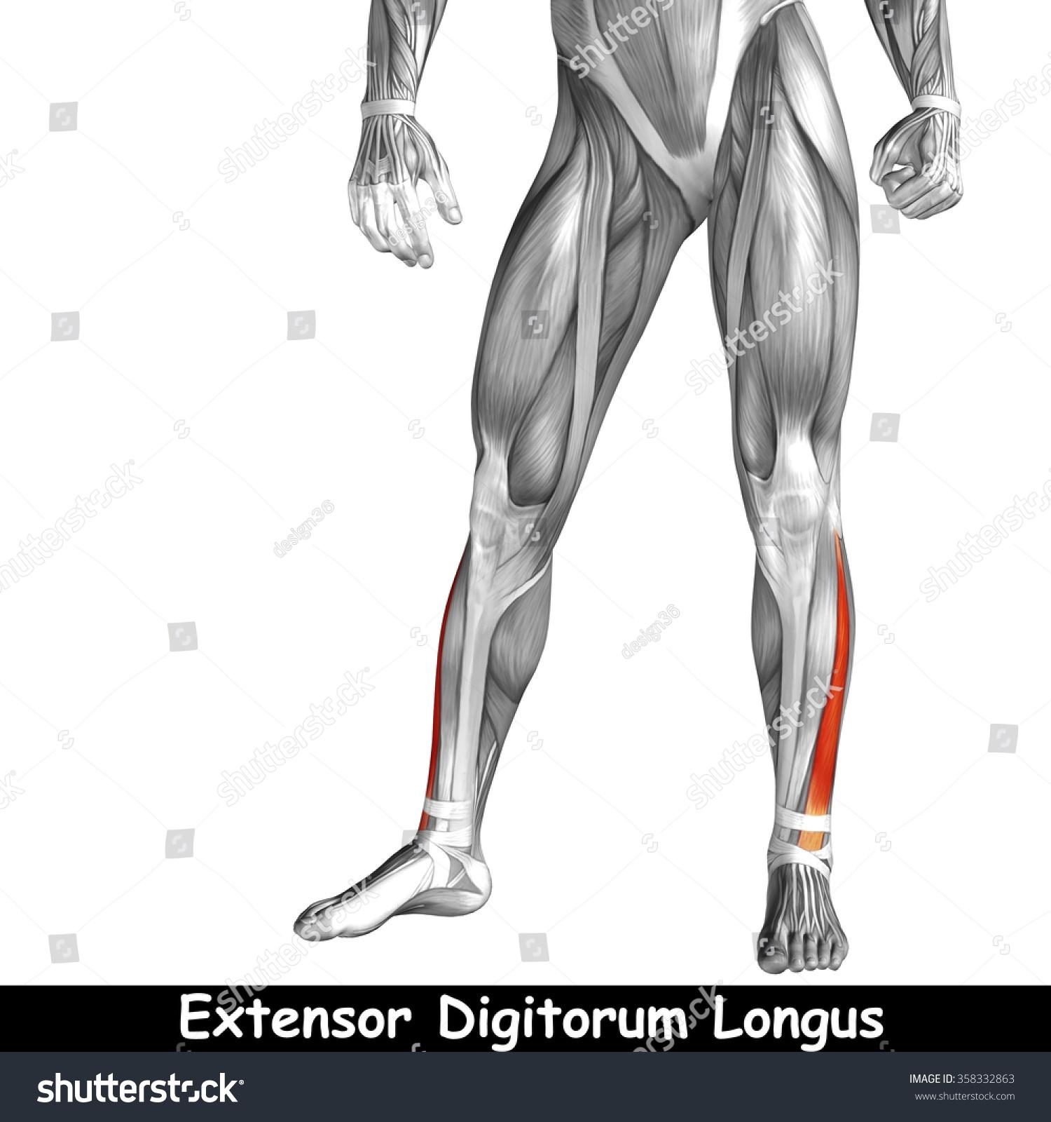 Concept Conceptual 3 D Human Lower Leg Stock Illustration 358332863 ...
