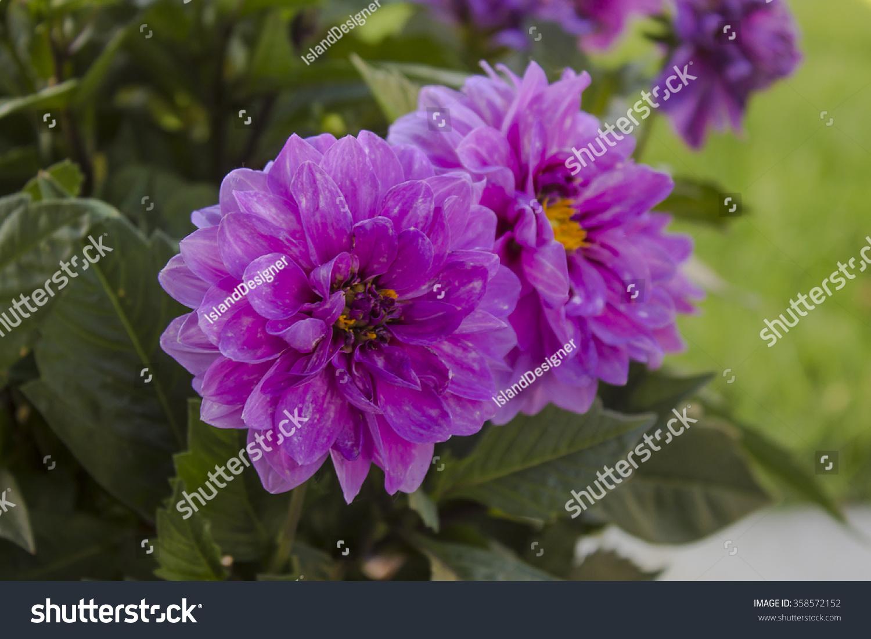 Purple dahlia flowers stock photo edit now 358572152 shutterstock purple dahlia flowers izmirmasajfo
