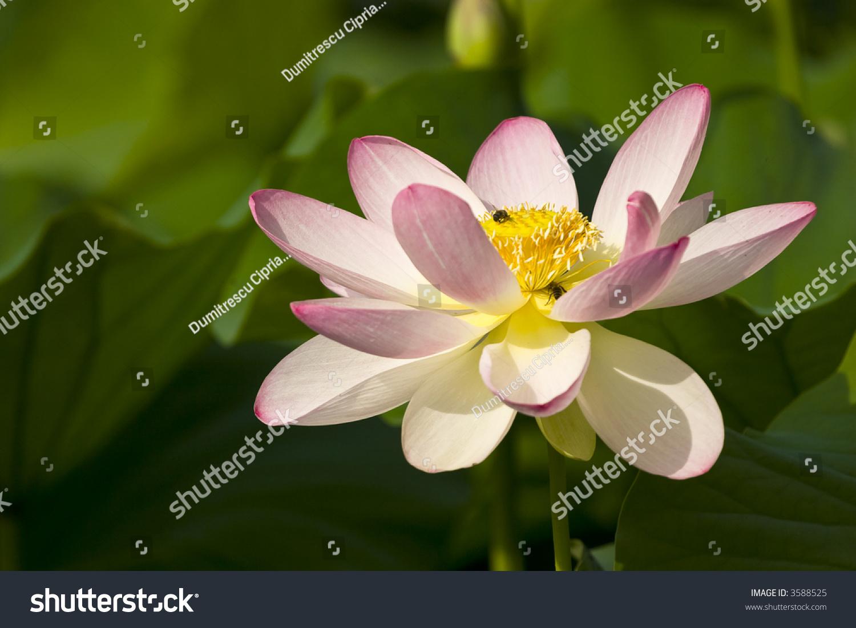 Beautiful Bloom Pink Japanese Lotus Flower Stock Photo Edit Now