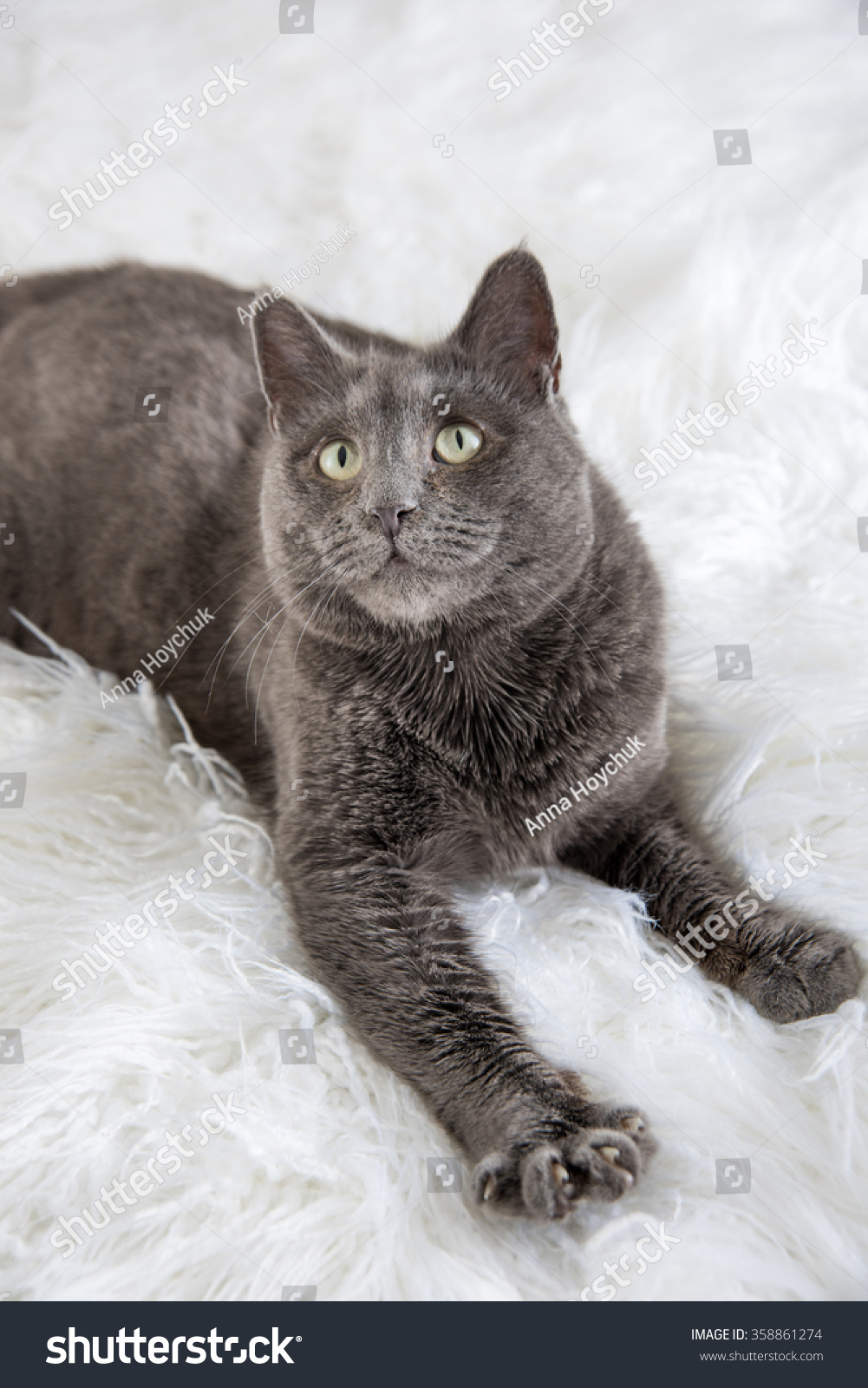 Russian Blue Gray Cat Relaxing Stock Shutterstock