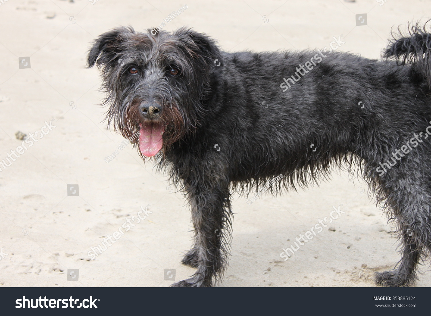 Black Wire Haired Terrier Dog Tongue Stock Photo 358885124 ...