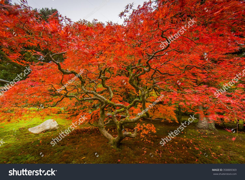 Seattle Japanese Garden Maple Tree Stock Photo (Royalty Free ...