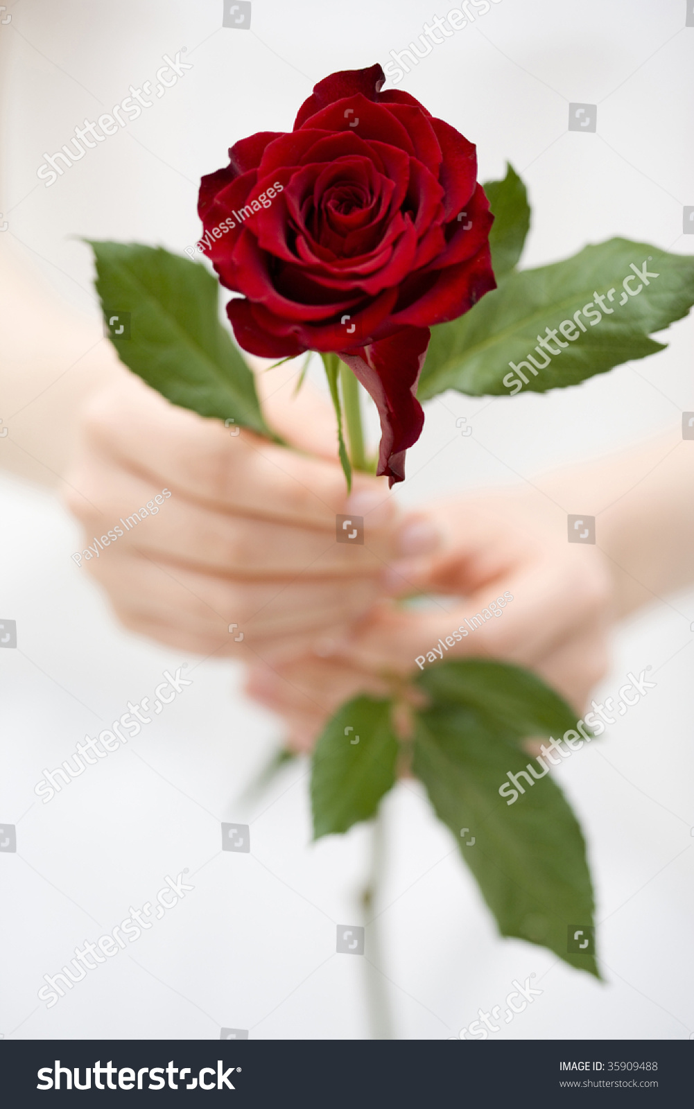 beautiful red rose womans hands stock photo   shutterstock, Beautiful flower