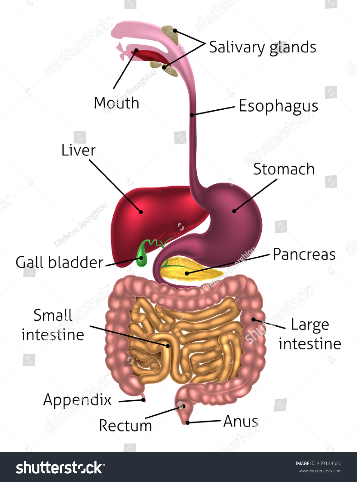 digestive system prezi script What are the primary functions of the respiratory system how does the digestive system work with the //prezicom/tifsrm2flhtd/digestive-respiratory-and.