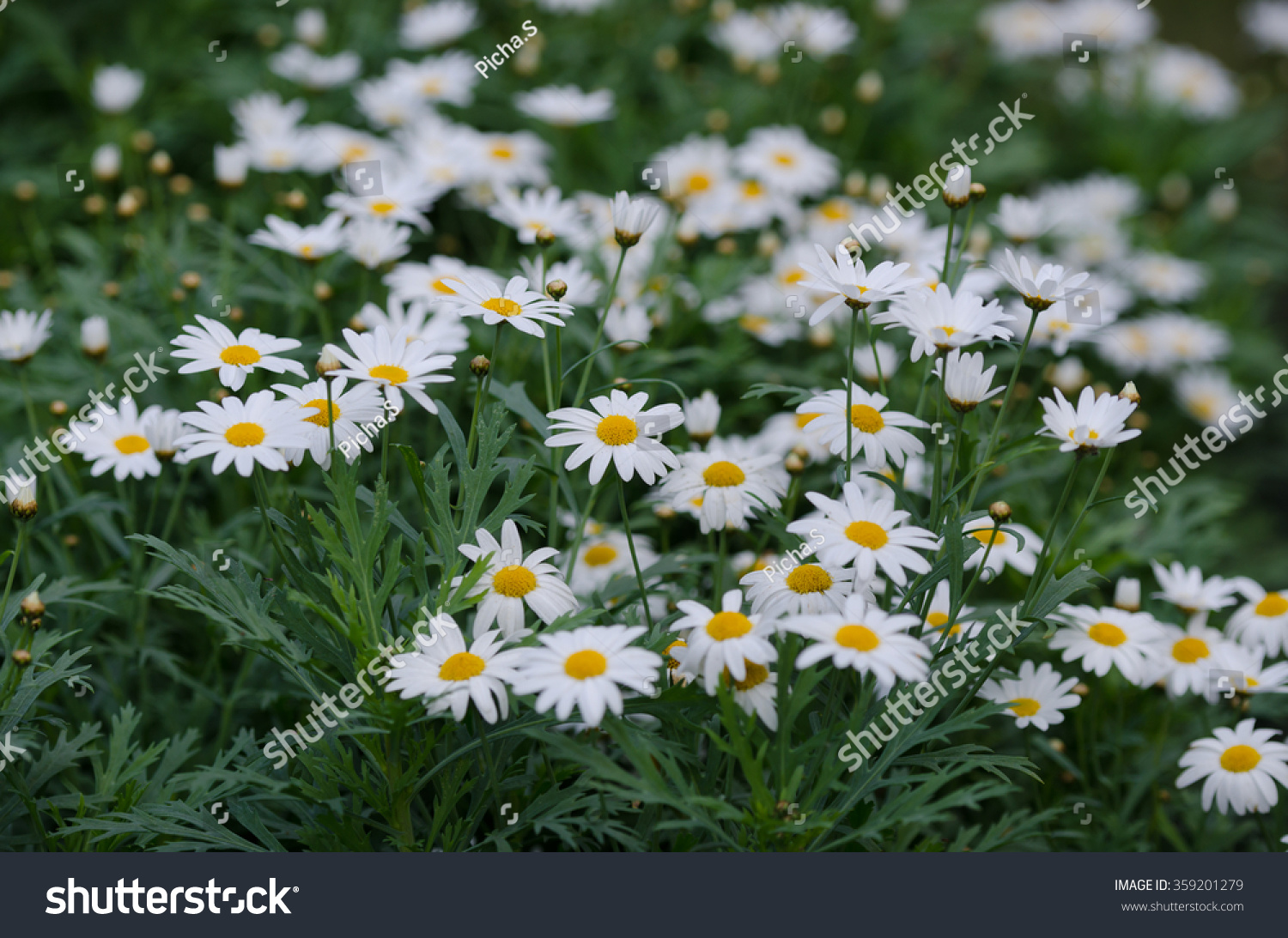Daisy Flower Background Stock Photo Royalty Free 359201279