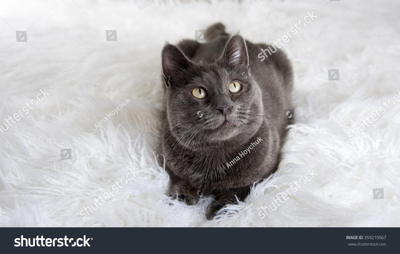 Russian Blue Gray Cat Relaxing Stock Shutterstock
