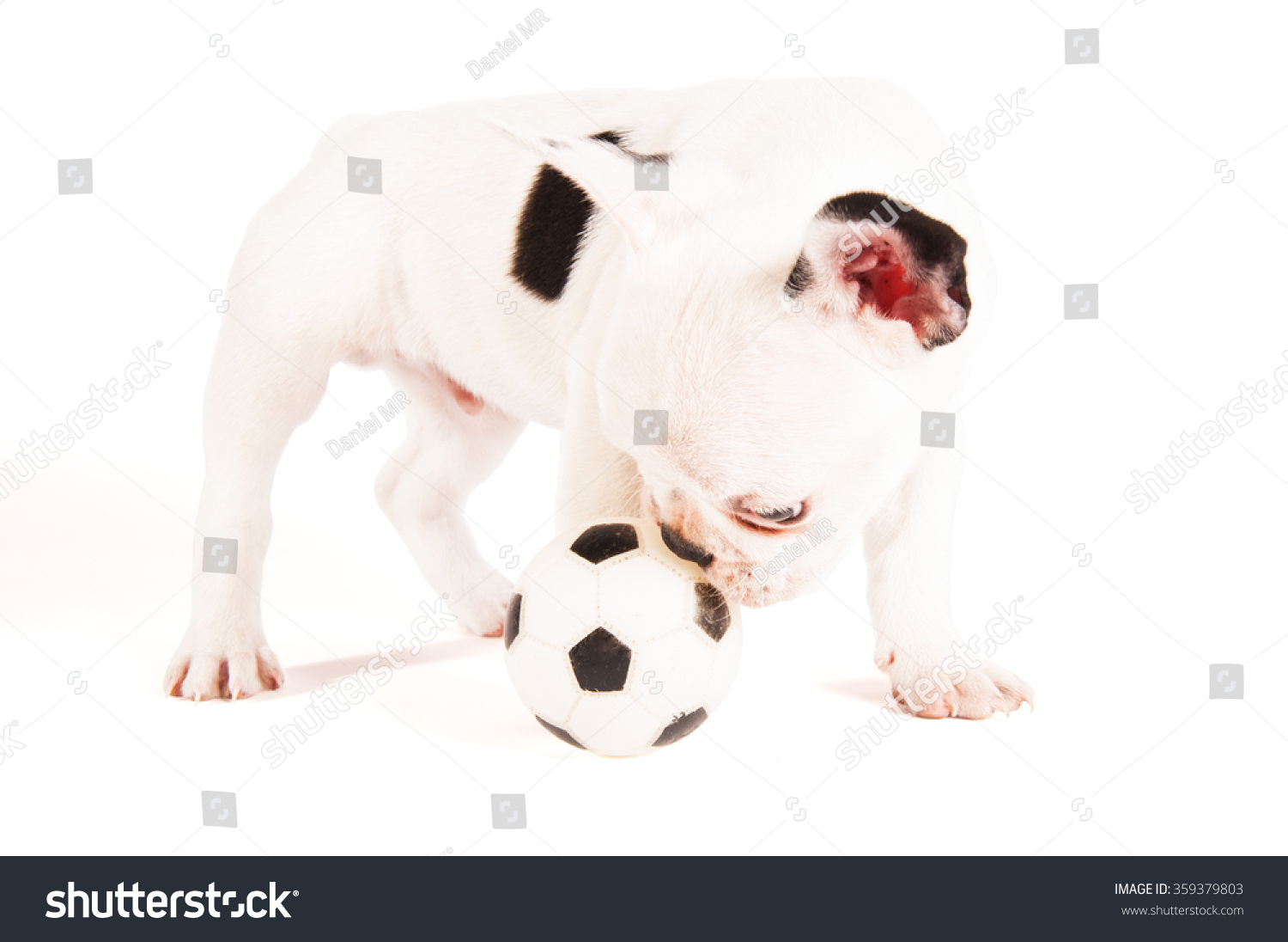 Most Inspiring Bulldog Ball Adorable Dog - stock-photo-adorable-french-bulldog-puppy-playing-with-a-ball-on-white-background-359379803  Gallery_98781  .jpg