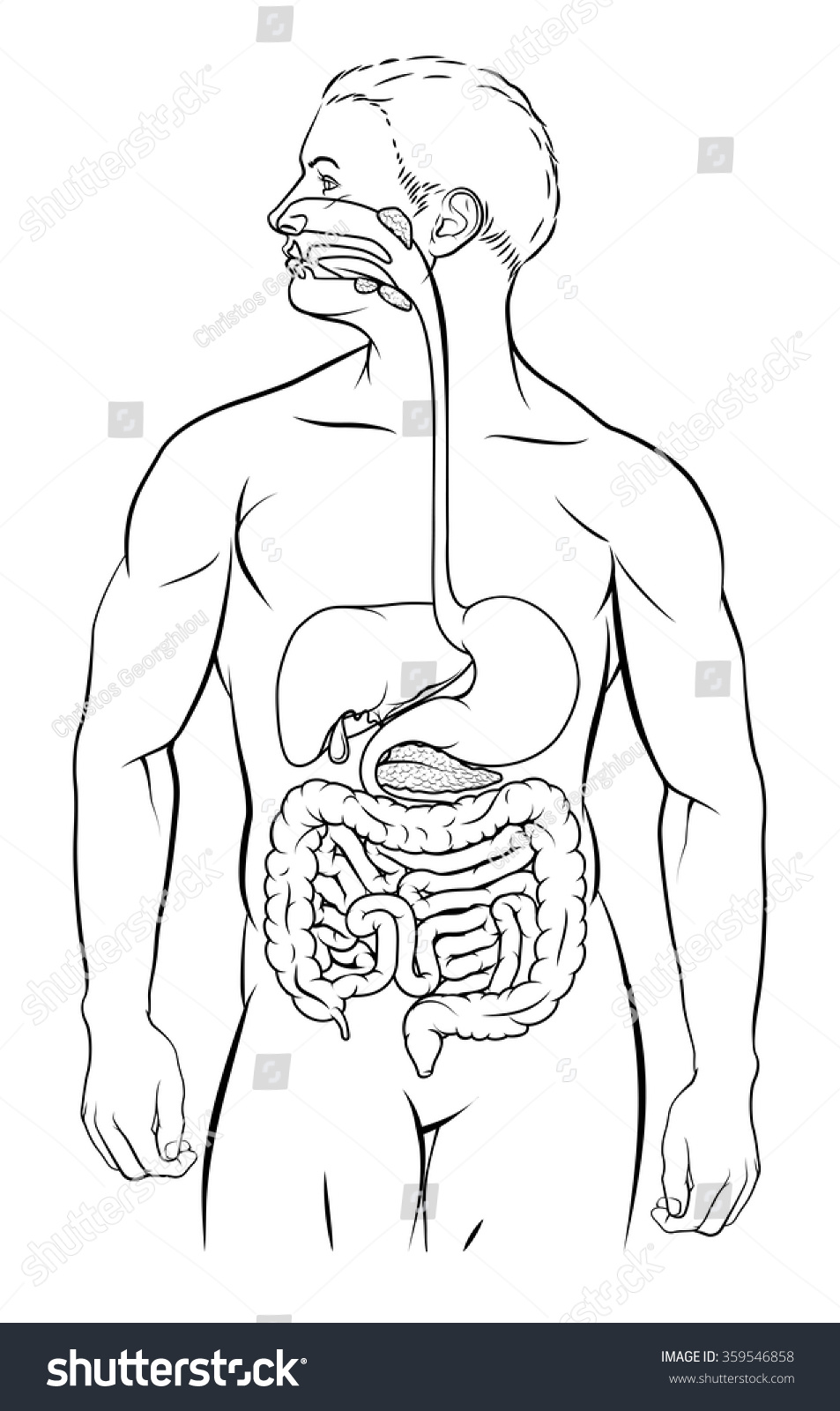 Human Digestive System Digestive Tract Alimentary Stock Vector