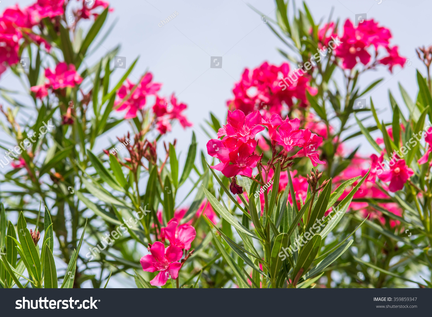 Nerium Oleander Oleander Rose Bay Flower Stock Photo Edit Now