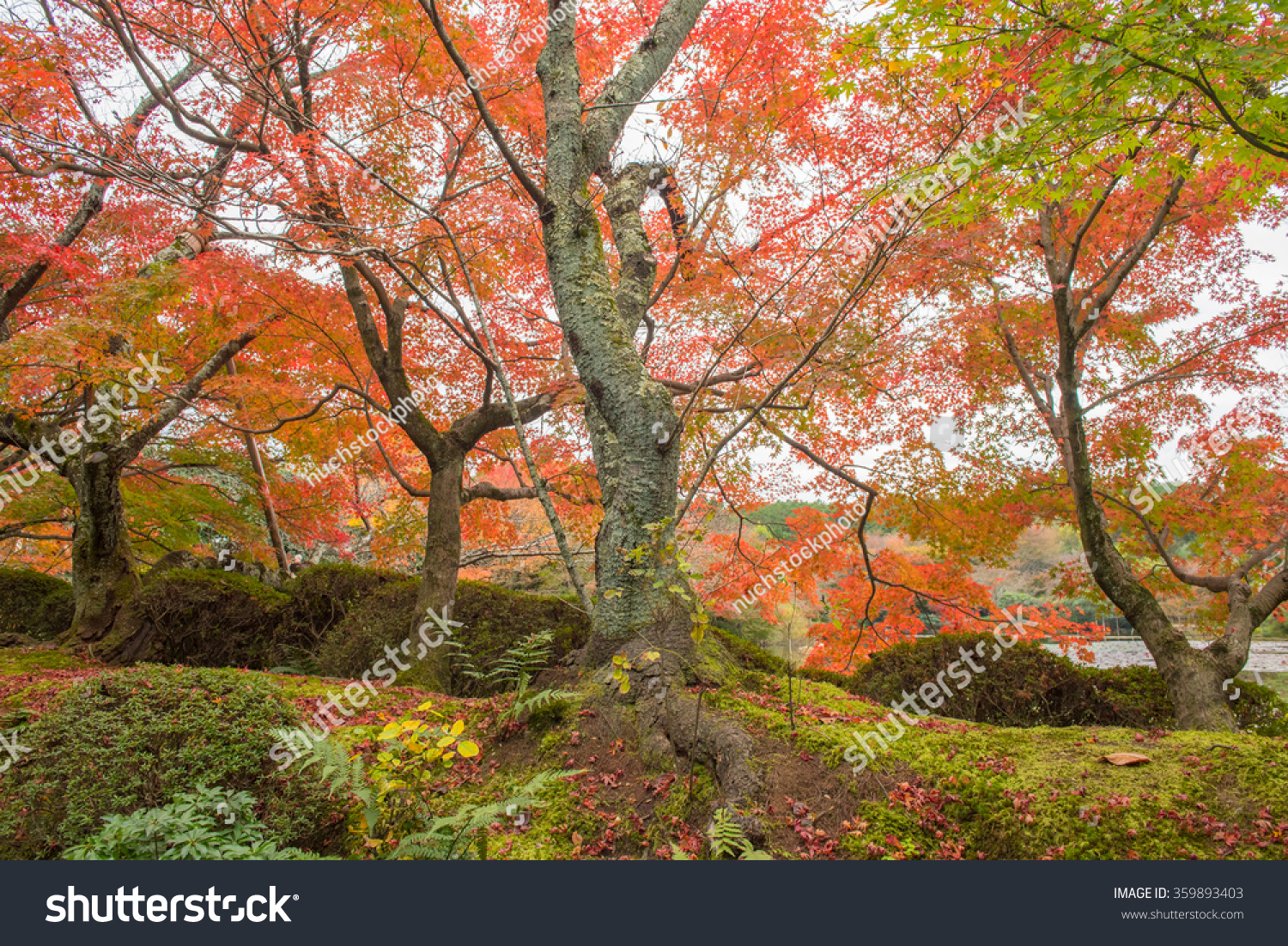 Autumn nature, Ryoanji temple gardens in Kyoto, Japan | EZ Canvas