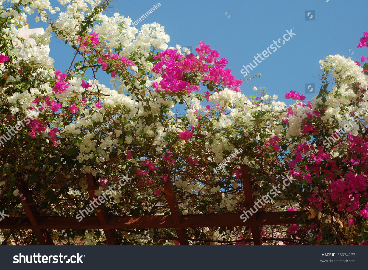 Amazing Pink White Flowers On Blossoming Stock Photo Edit Now