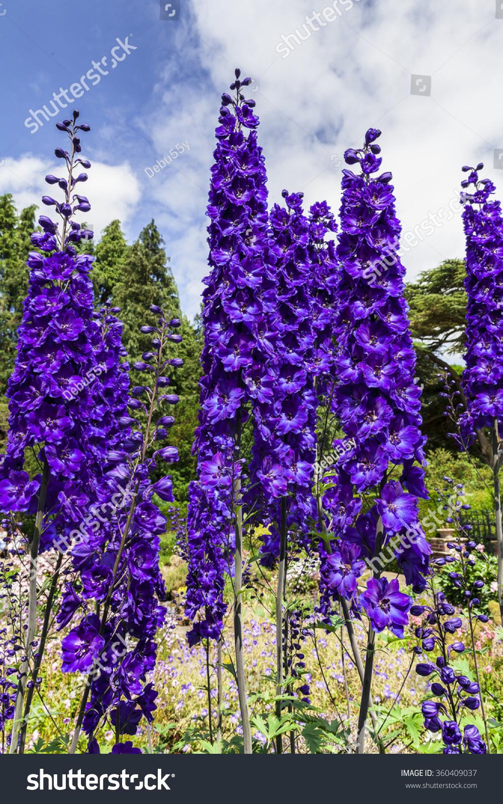 Tall Dark Blue Delphinium Flowers Herbaceous Stock Photo Edit Now
