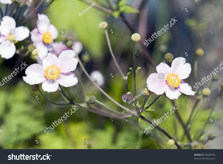 Beautiful Wild Pink White Cosmos Flowers Stock Photo Royalty Free