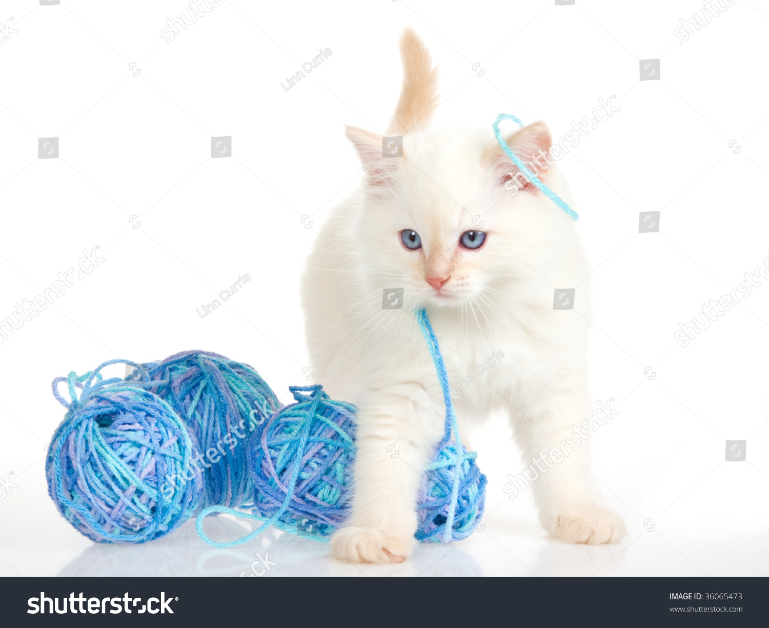 Cute Kitten Playing Yarn On White Stock Photo 36065473 ...