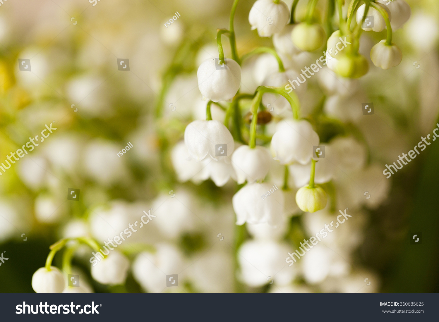Photographed close up of a small white flower lily of the valley photographed close up of a small white flower lily of the valley ez canvas izmirmasajfo