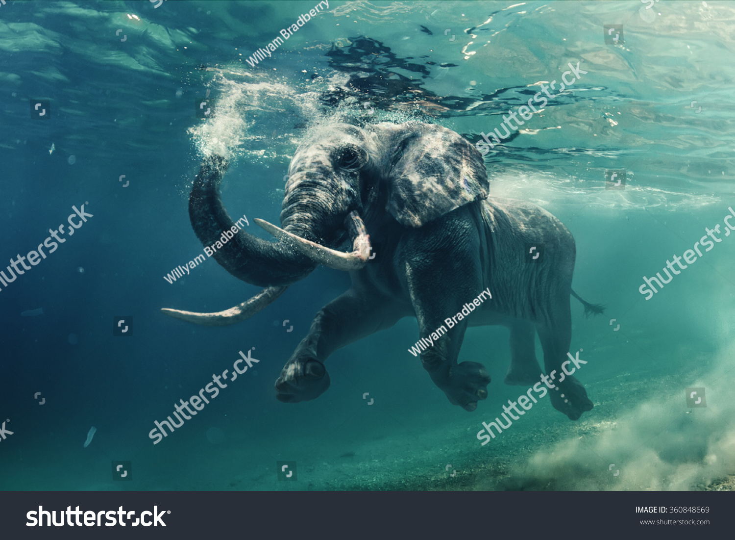 Swimming Elephant Underwater. African elephant in ocean with mirrors and ripples at water surface. #360848669