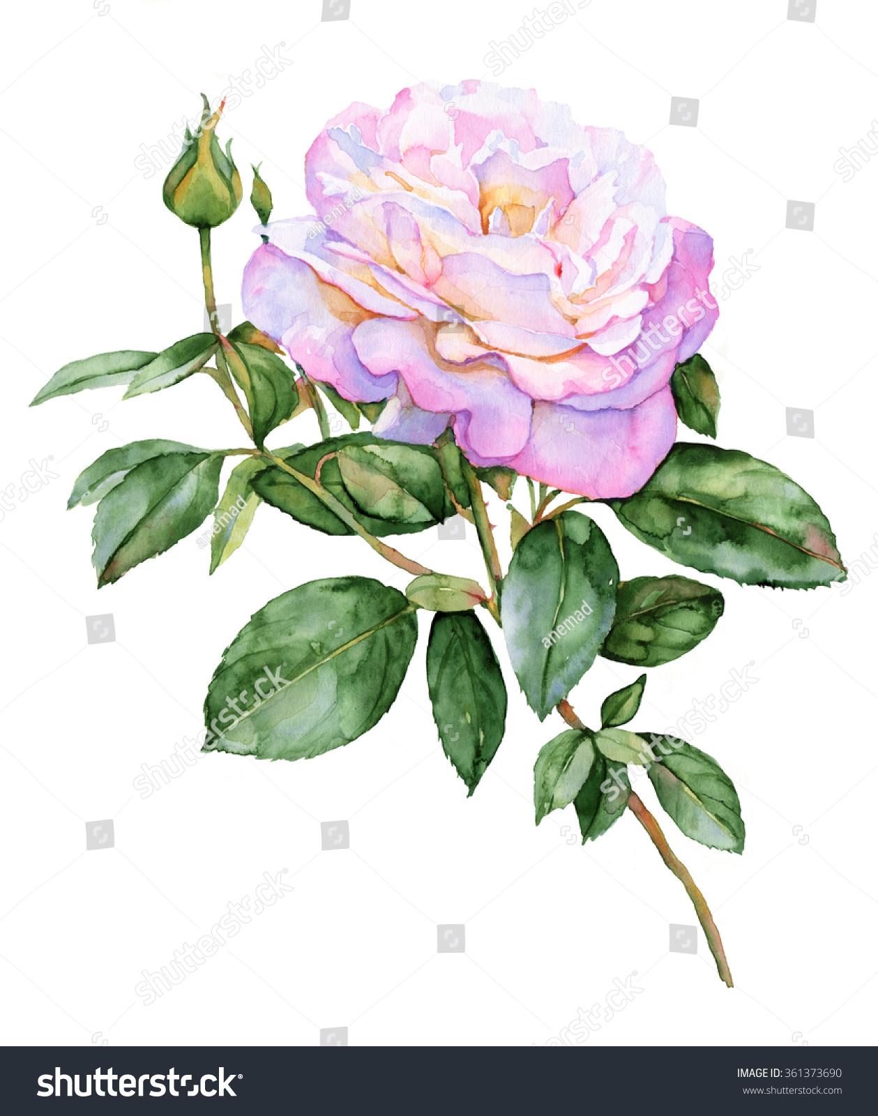 Beautiful pink rose watercolor illustration