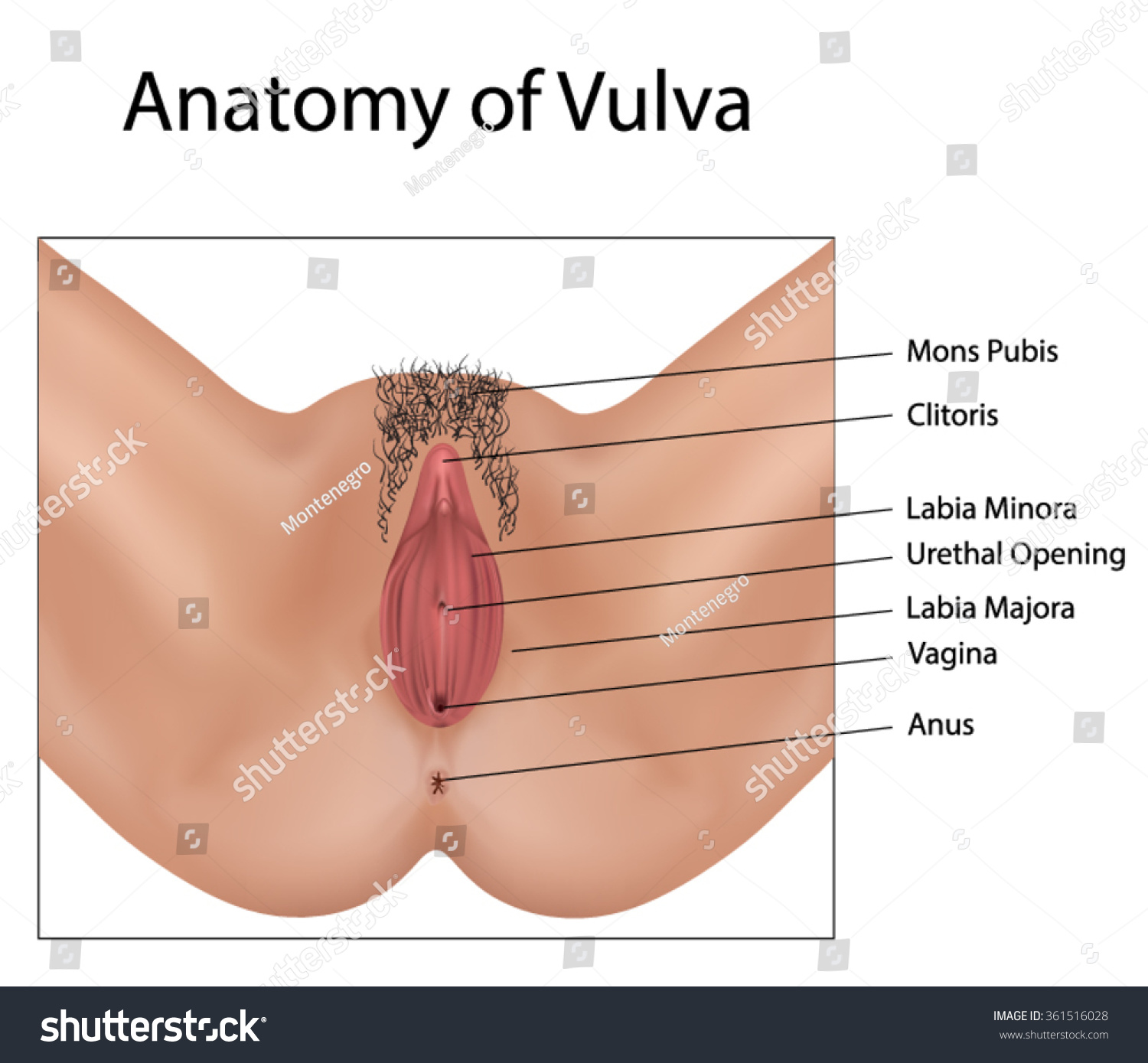anatomy vulva stock vector 361516028 - shutterstock, Human Body