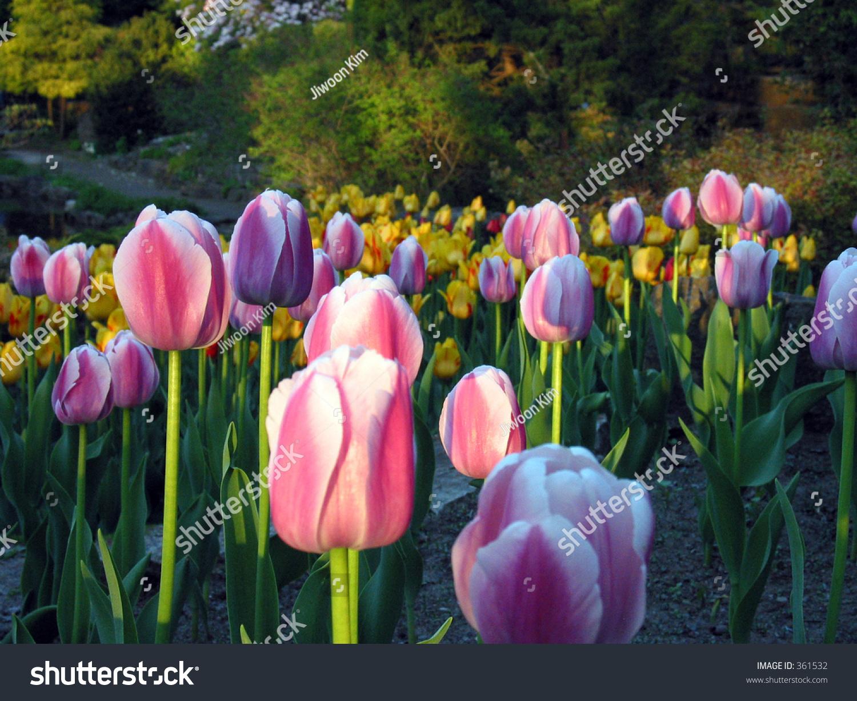 Beautiful Tulip Garden Stock Photo 361532 Shutterstock
