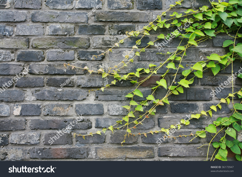 green vines on brick wall stock photo 36173947 shutterstock. Black Bedroom Furniture Sets. Home Design Ideas