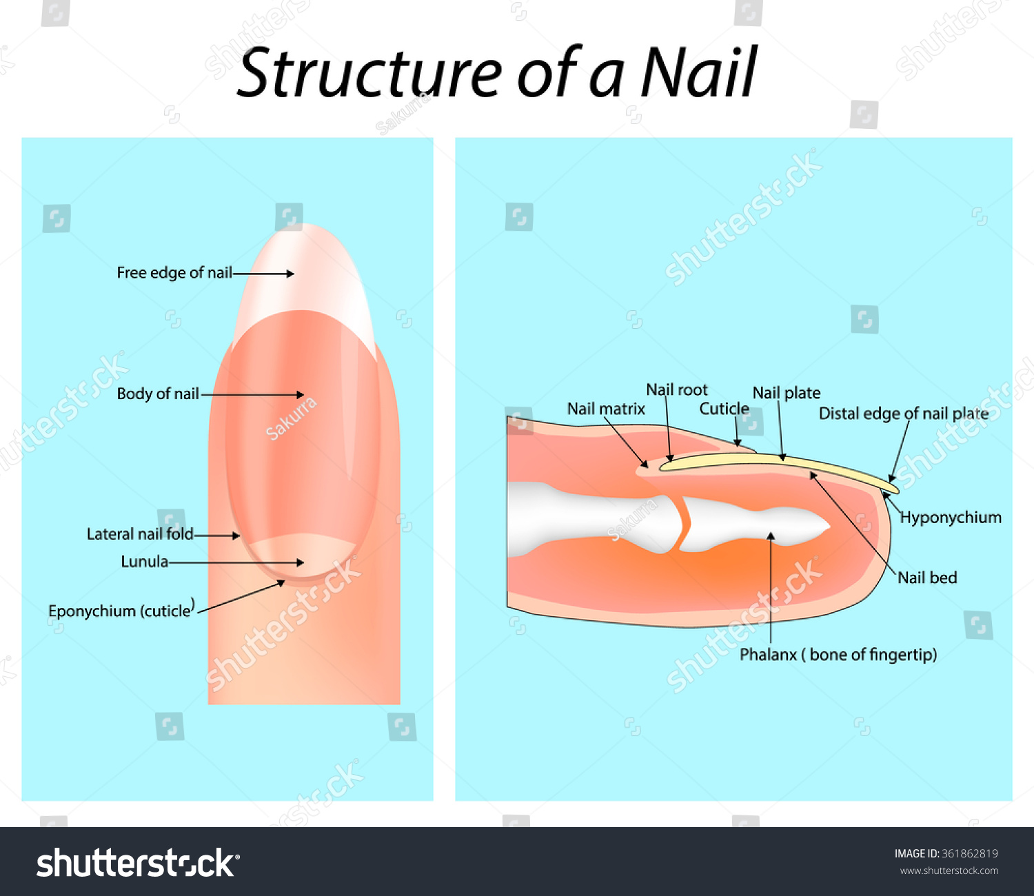 Structure Nail Nail Anatomy Stock Vector 361862819 - Shutterstock