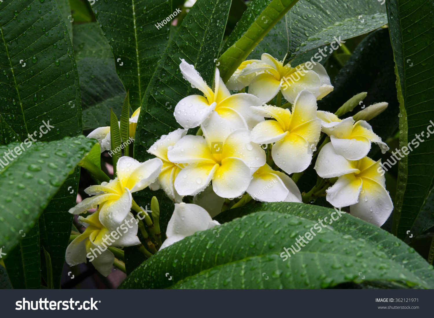 Frangipani plumeria flower drops water after stock photo royalty frangipani or plumeria flower in drops of water after rain traditional flowers hawaiian culture izmirmasajfo