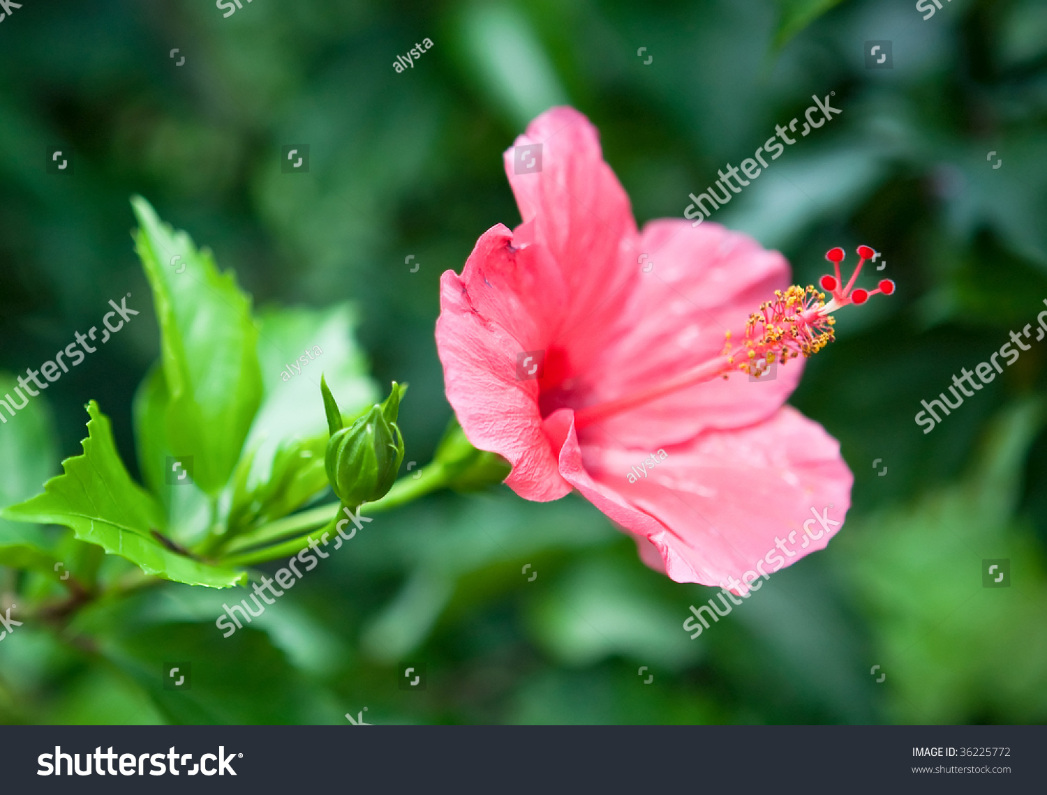 Interesting red hibiscus flowers whiskerlike extensions stock photo interesting red hibiscus flowers with whisker like extensions and balls as part of the plant izmirmasajfo