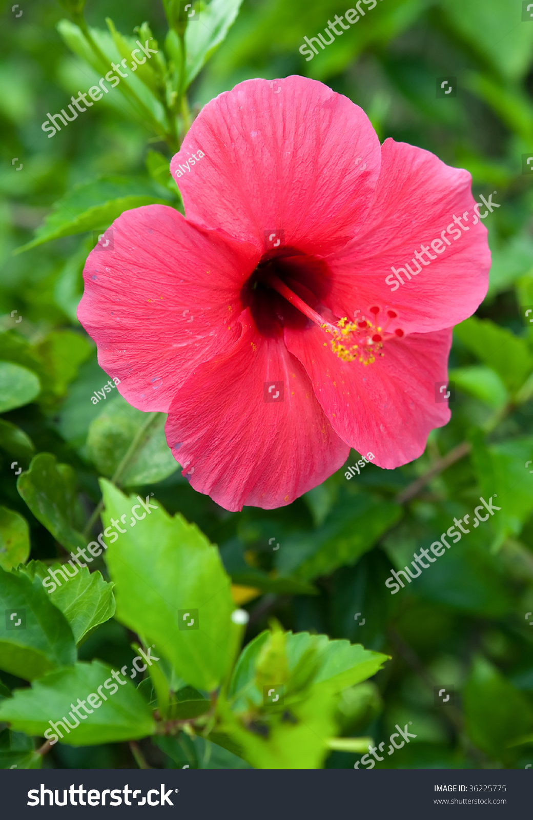 Interesting Red Hibiscus Flowers Whiskerlike Extensions Stock Photo