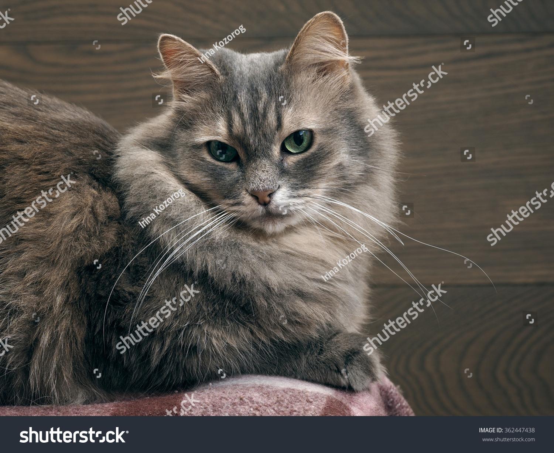 fluffy light gray cat - photo #41