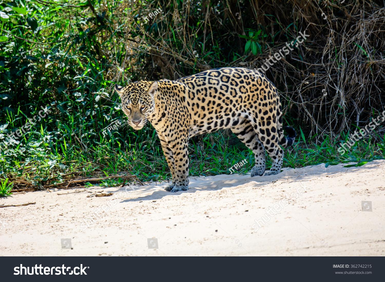 jaguar standing - photo #14