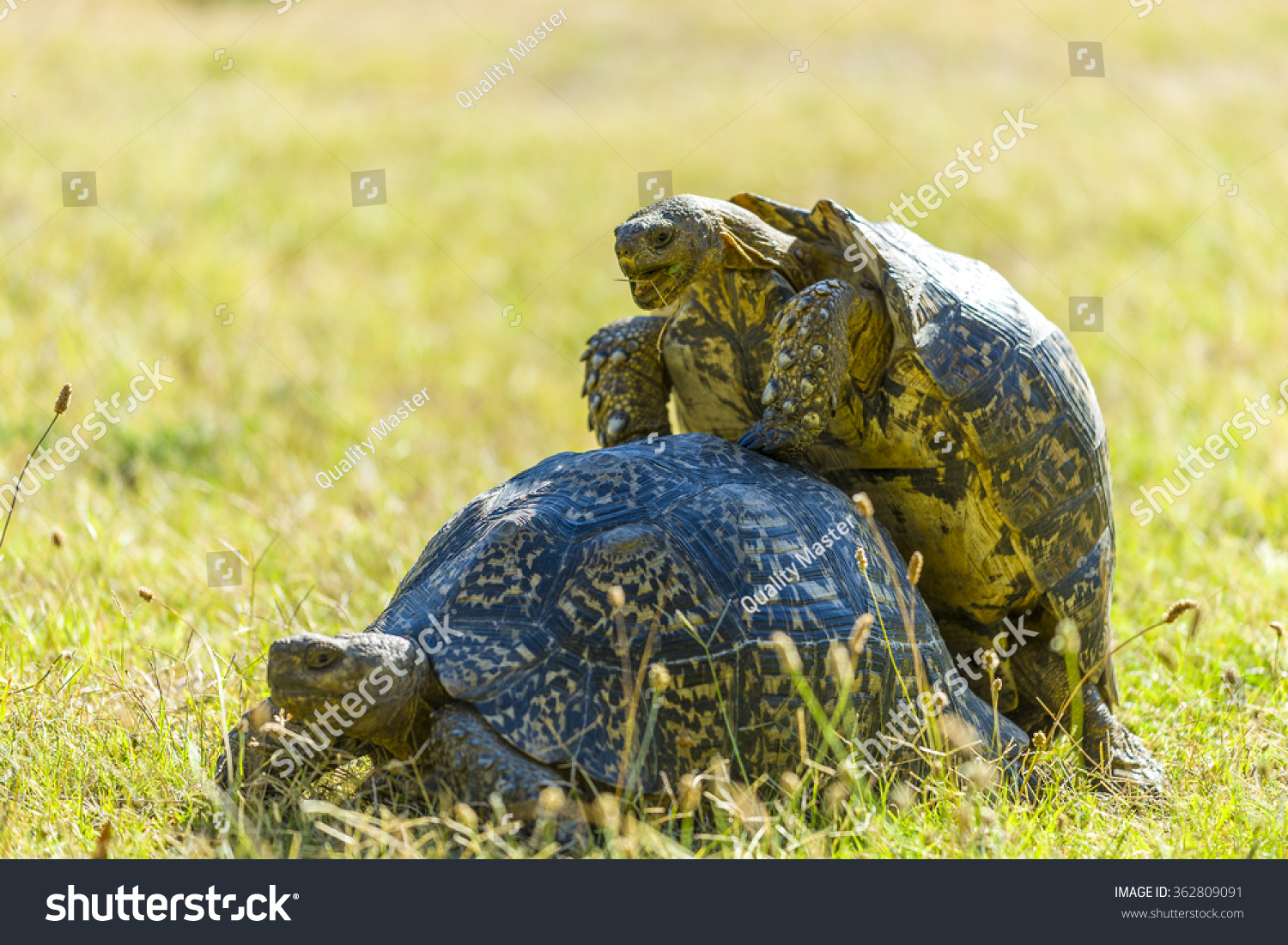 Picture Of A Male African Spur Tortoises Penis - Free Porn -6208