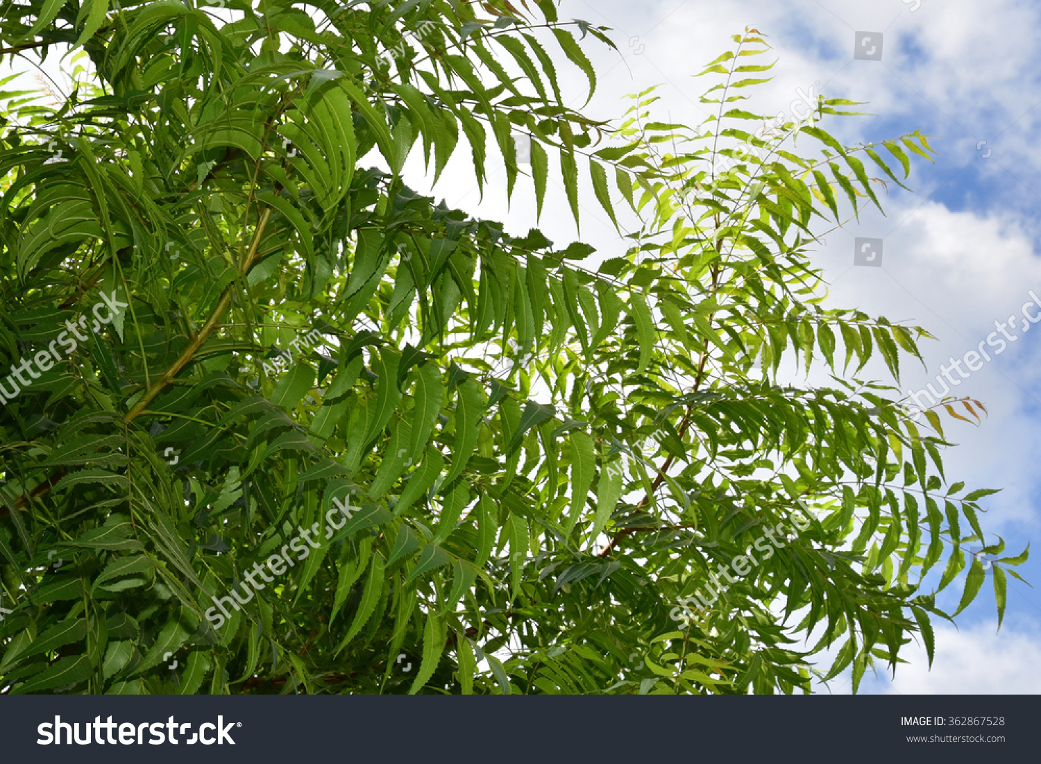 hindi essay on neem tree Information about the neem tree also called the wonder tree and its various uses wwworganeemcom.