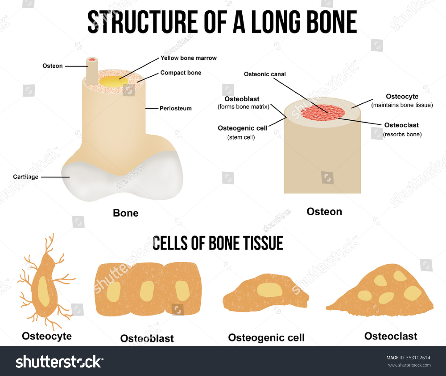 What is bone tissue made up of? - proquestyamaha.web.fc2.com - photo#31