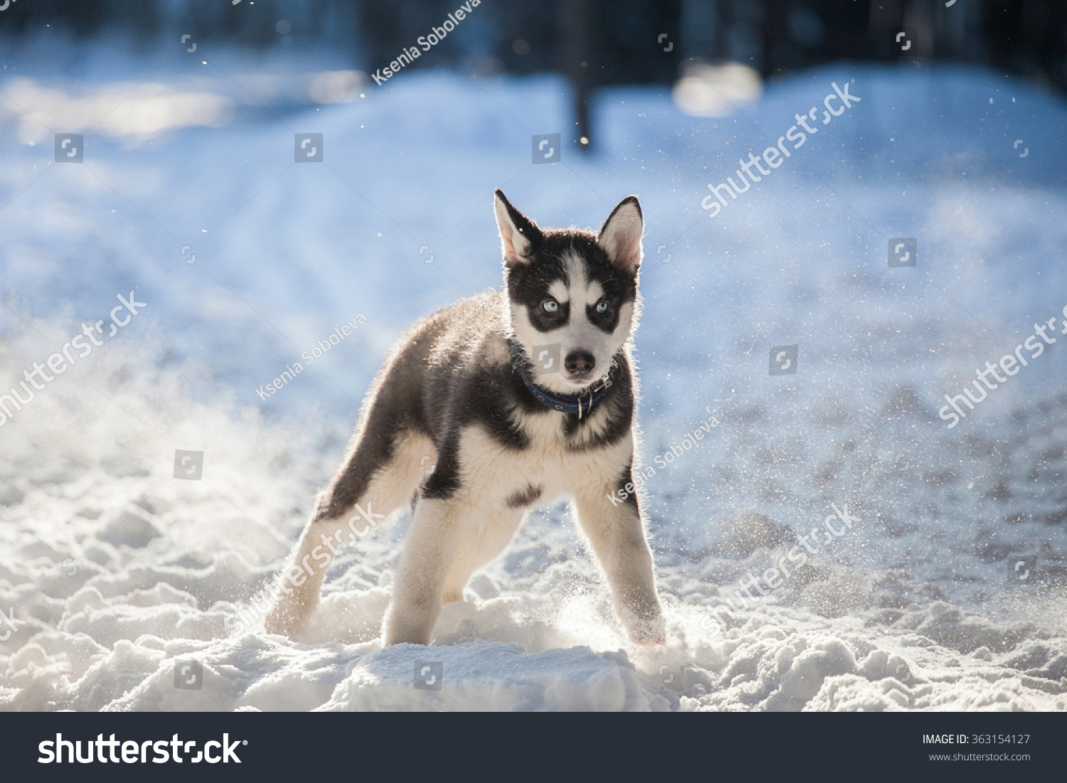 Clumsy Siberian Husky Puppy Snow Stock Photo Edit Now 363154127