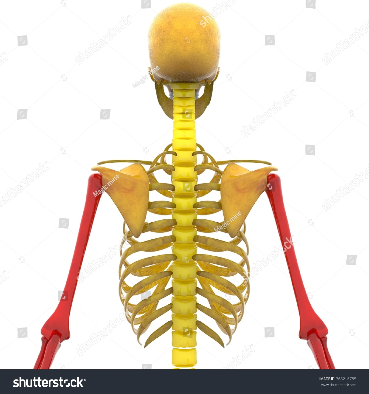 Human Skeleton Humerus Radius Ulna Bones Stock Illustration ...