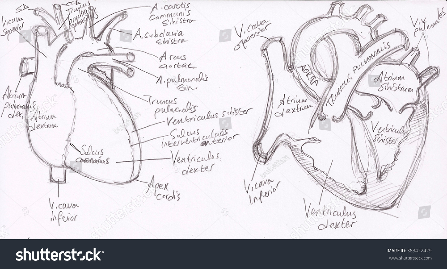 Anatomy Drawings Heart Medical Illustration Cardiology Stock ...