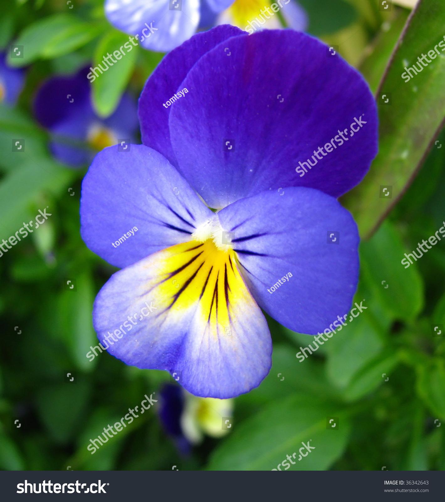Blue Yellow Viola Flower Stock Photo Edit Now 36342643 Shutterstock