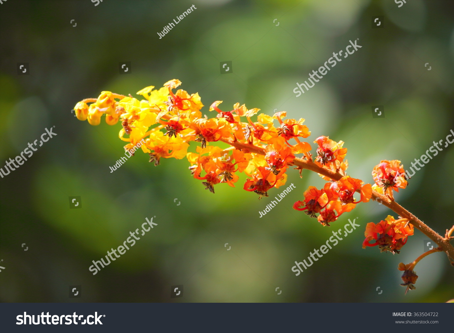 Exotic Red Orange Yellow Flower Costa Stock Photo Edit Now
