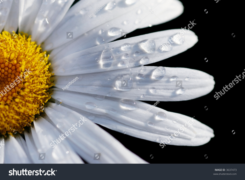 Macro closeup daisy flower isolated on stock photo edit now macro close up of a daisy flower isolated on black shallow dof focus izmirmasajfo