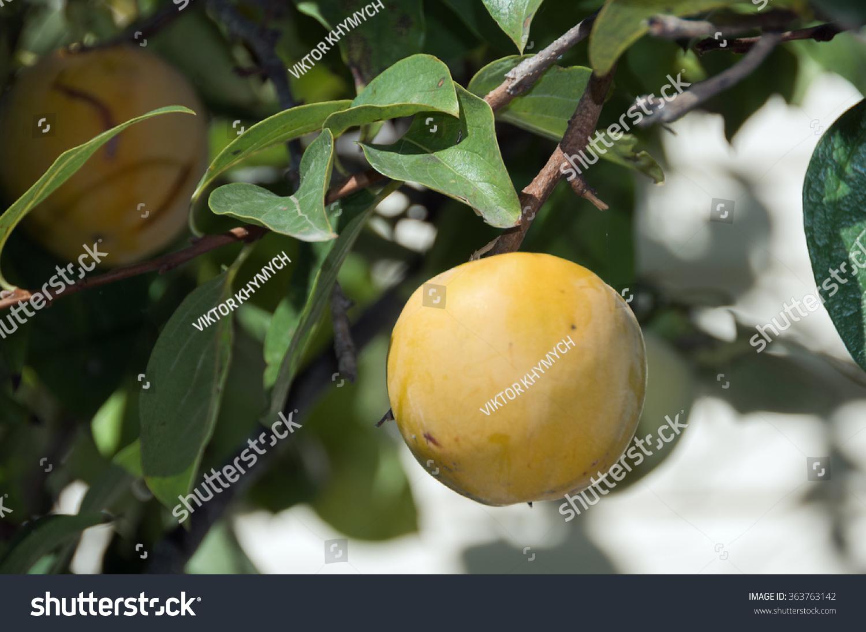 persimmon fruit matures on tree autumn stock photo (royalty free