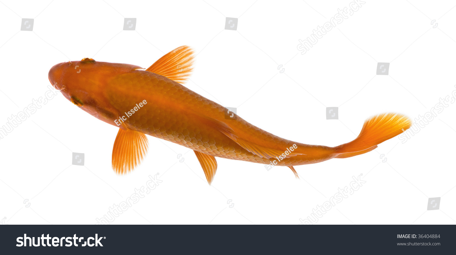 Orange koi fish cyprinus carpio against white background for Orange coy fish