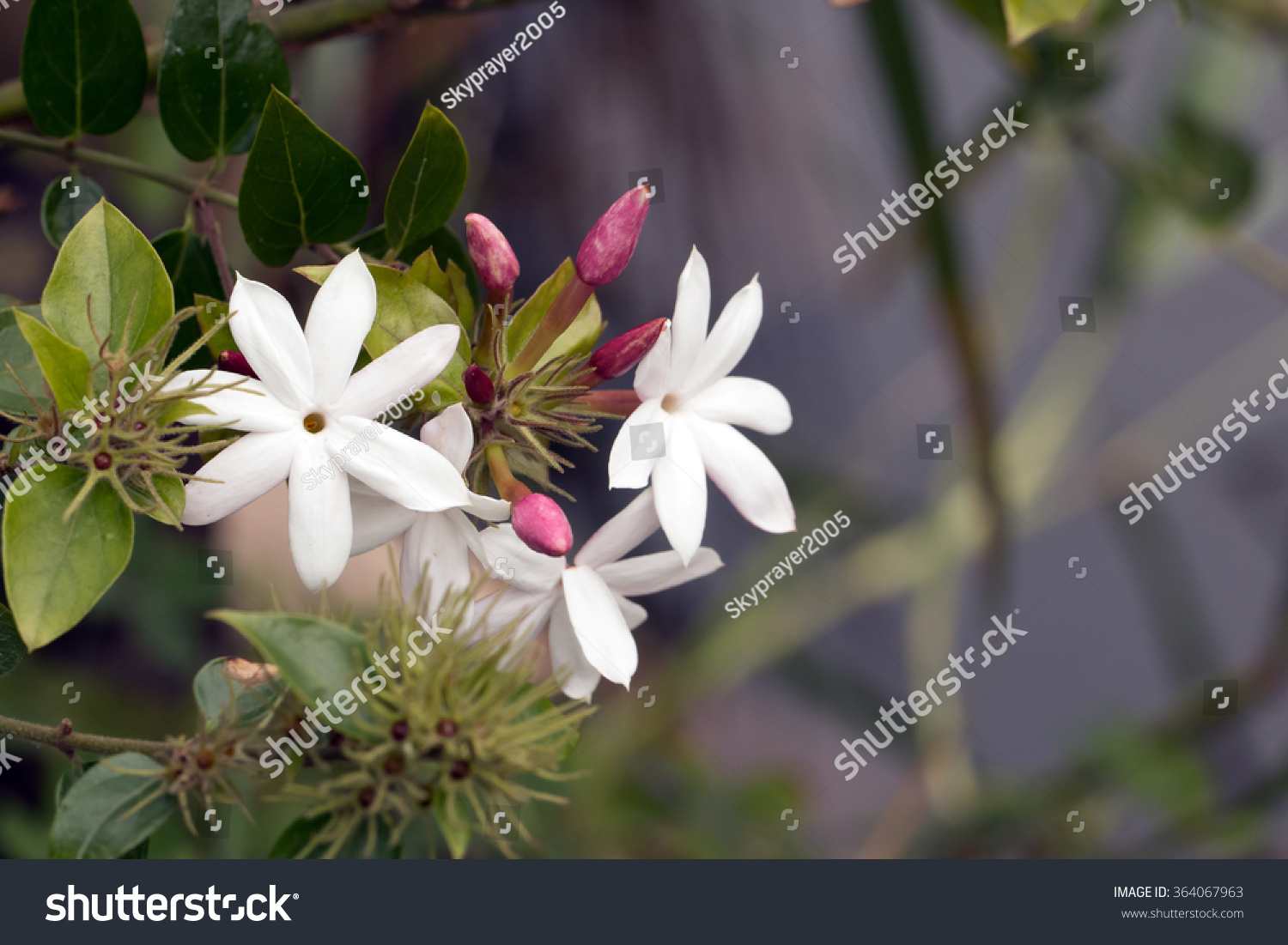 Pink jasmines pink flower buds white stock photo image royalty pink jasmines pink flower buds and white flowersjasminum polyanthum izmirmasajfo