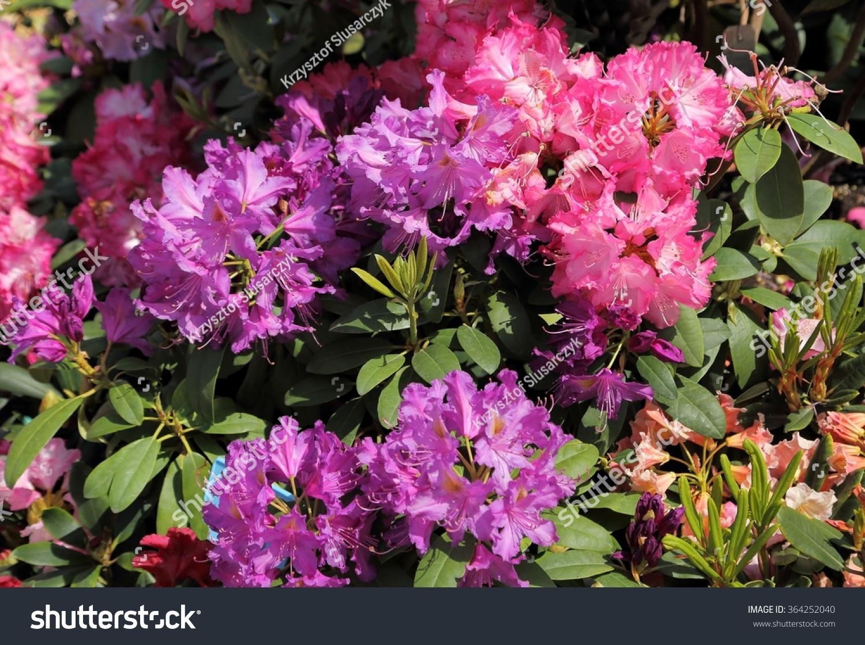 Beautiful Rhododendron Pink Flower Bushes In A Garden Ez Canvas