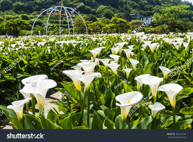 Calla Lilymany Beautiful White Flowers Blooming Stock Photo Royalty