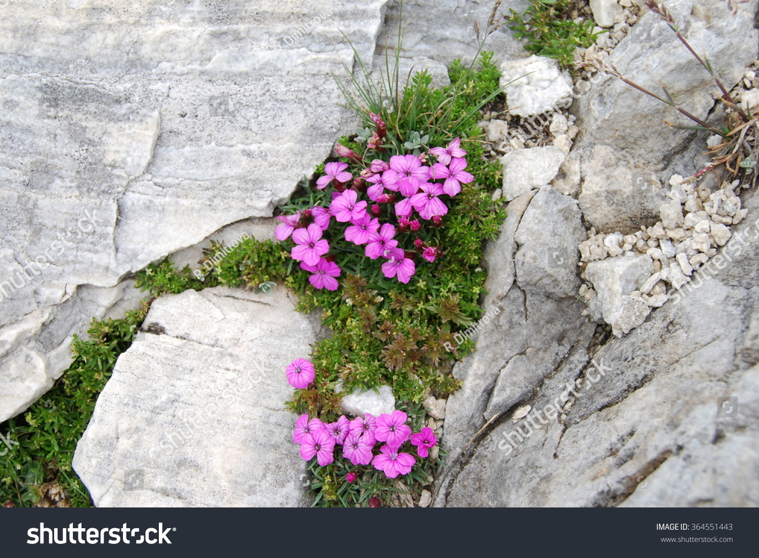 Pink Alpine Flowers Blooming Between Marbled Stock Photo Edit Now