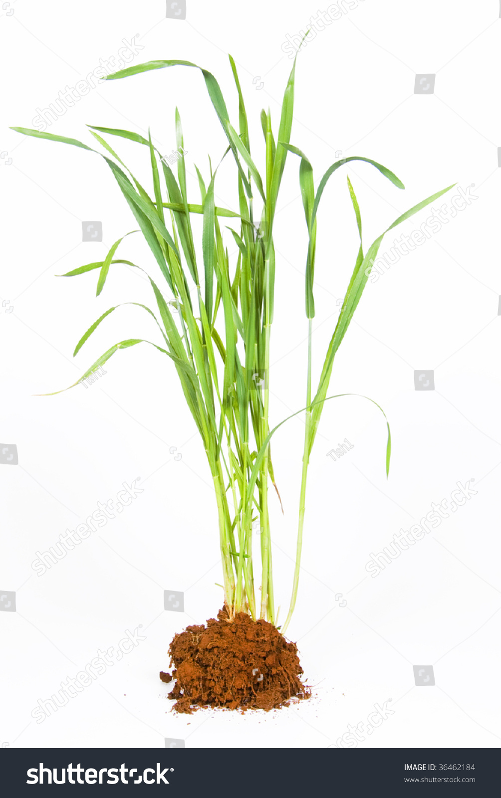 Young wheat plant soil against white stock photo 36462184 for Soil young s modulus